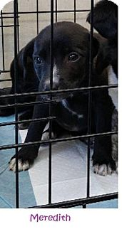 Terrier (Unknown Type, Small) Mix Puppy for adoption in Danbury, Connecticut - Meredith