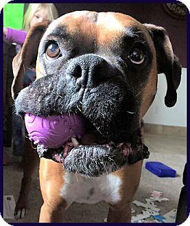 Boxer Dog for adoption in Boise, Idaho - BOGEY