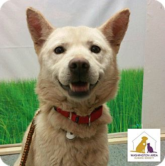 Jindo Mix Dog for adoption in Eighty Four, Pennsylvania - Harper