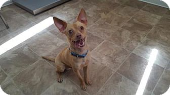 Chihuahua Mix Dog for adoption in Chico, California - Beau Butters