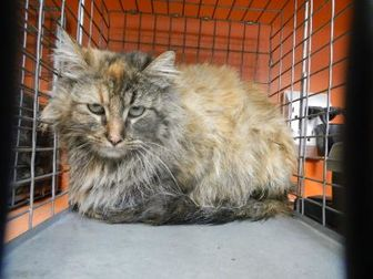 Domestic Longhair/Domestic Shorthair Mix Cat for adoption in Pasco, Washington - Digi