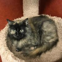 Domestic Mediumhair/Domestic Shorthair Mix Cat for adoption in Rochester, Minnesota - Bear