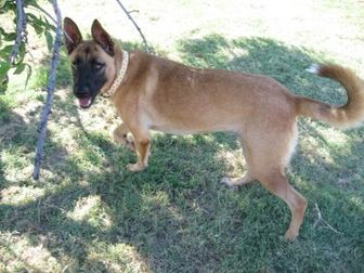 Belgian Malinois Mix Dog for adoption in The Colony, Texas - Abbey