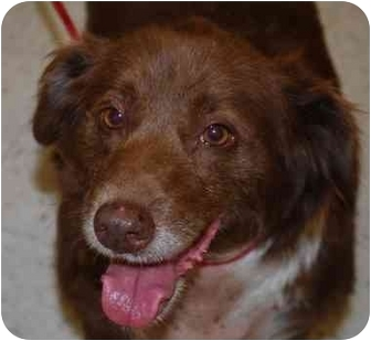 Spaniel (Unknown Type)/Border Collie Mix Dog for adoption in Vineland, New Jersey - Chewpa