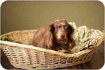 Dachshund Dog for adoption in Portland, Oregon - Anastasia