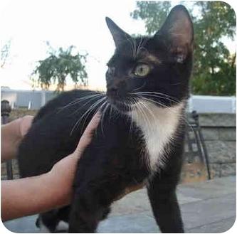 Domestic Shorthair Kitten for adoption in New Egypt, New Jersey - Sammy