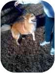 Australian Shepherd Mix Dog for adoption in Farmers Branch, Texas - DaKota