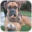 Photo 1 - Boxer Dog for adoption in Poway, California - SASHA