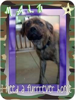 Boxer/Labrador Retriever Mix Puppy for adoption in Lakeland, Florida - Malu