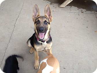 German Shepherd Dog Mix Puppy for adoption in Gustine, California - KERNAL