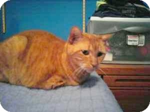 Domestic Shorthair Cat for adoption in Raritan, New Jersey - Princess