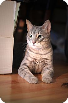 Domestic Shorthair Cat for adoption in Chicago, Illinois - Lynx