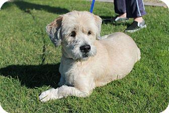 Lhasa Apso/Basset Hound Mix Dog for adoption in Phoenix, Arizona - Duke