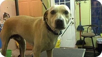 Labrador Retriever/Terrier (Unknown Type, Medium) Mix Dog for adoption in Plainfield, Connecticut - Bubba