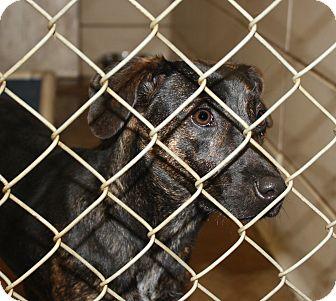 Catahoula Leopard Dog/Labrador Retriever Mix Dog for adoption in Haughton, Louisiana - BCAC Catahoula/Lab mix