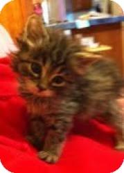 Maine Coon Kitten for adoption in Walker, Louisiana - Aster
