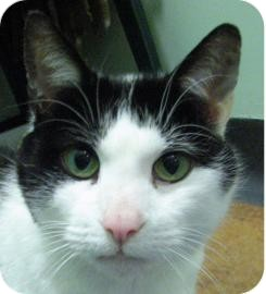 Domestic Shorthair Cat for adoption in Ithaca, New York - Emma 14295-c