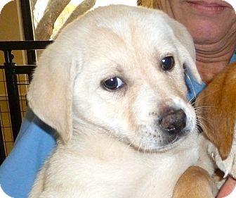 Labrador Retriever Mix Puppy for adoption in South Dennis, Massachusetts - Lizzy