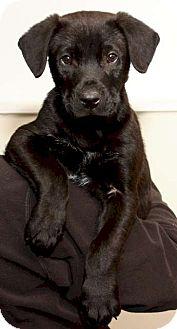 Labrador Retriever Mix Puppy for adoption in Mt. Prospect, Illinois - Coal