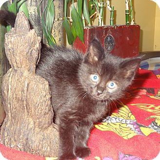 Domestic Shorthair Kitten for adoption in Tillamook, Oregon - Sesame