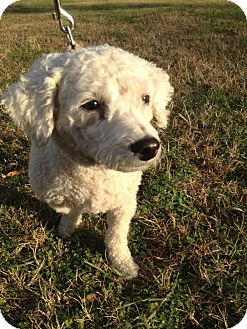 Bichon Frise Mix Dog for adoption in Greensboro, Maryland - Pinina