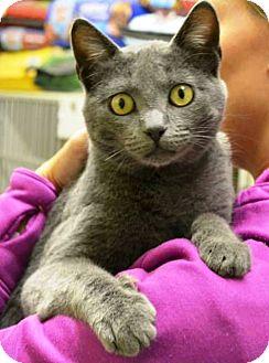 Domestic Shorthair Cat for adoption in Indianola, Iowa - Suki