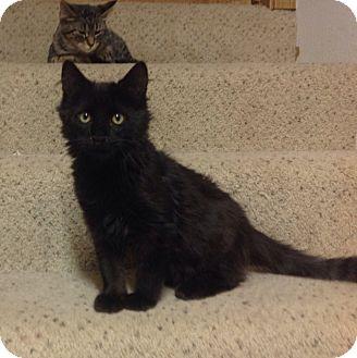 Domestic Mediumhair Kitten for adoption in Des Moines, Iowa - Mac