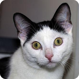 Domestic Shorthair Kitten for adoption in Lombard, Illinois - Elfie
