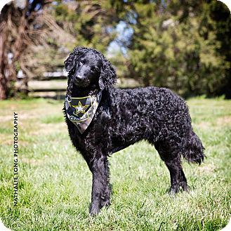 Curly-Coated Retriever Dog for adoption in Charlotte, North Carolina - Ranger