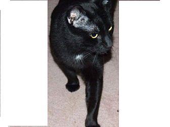 Domestic Shorthair Cat for adoption in waterbury, Connecticut - Sebastian- Courtesy Post