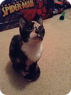 Calico Kitten for adoption in Warren, Michigan - Misty - ADOPTION PENDING
