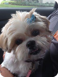 Shih Tzu Dog for adoption in Studio City, California - Sunflower