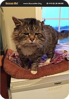 Maine Coon Cat for adoption in Charlotte, North Carolina - manor