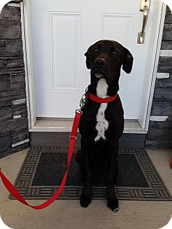 Boxer/Labrador Retriever Mix Dog for adoption in Saskatoon, Saskatchewan - Pebbles