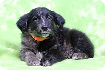Australian Shepherd/Retriever (Unknown Type) Mix Puppy for adoption in Westminster, Colorado - GALVIN