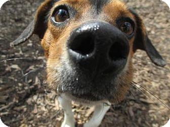 Toy Fox Terrier/Jack Russell Terrier Mix Dog for adoption in Alpharetta, Georgia - Holt