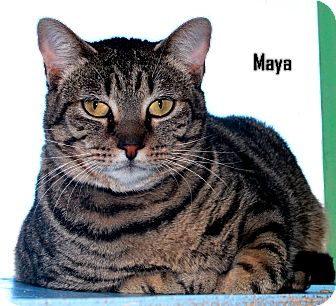 Domestic Shorthair Cat for adoption in Arkadelphia, Arkansas - Maya