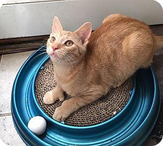 Domestic Shorthair Kitten for adoption in North Brunswick, New Jersey - Charlotte
