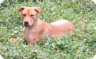 Labrador Retriever/American Staffordshire Terrier Mix Dog for adoption in Olympia, Washington - Carmela