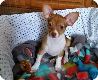 Chihuahua Mix Puppy for adoption in Danbury, Connecticut - Trixie