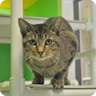Domestic Shorthair Cat for adoption in Suwanee, Georgia - Ruby