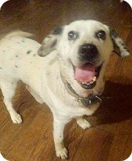 Dalmatian Mix Dog for adoption in pasadena, California - DOLLY