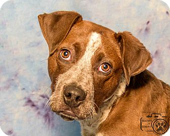Pointer/Cattle Dog Mix Dog for adoption in Divide, Colorado - Muttley