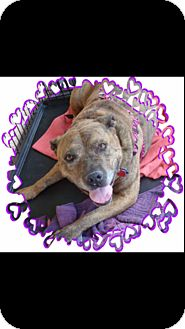 Pit Bull Terrier Mix Dog for adoption in Las Vegas, Nevada - Diamond 1