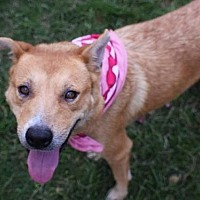 Labrador Retriever/Chow Chow Mix Dog for adoption in Houston, Texas - CHARM