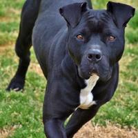 Adopt A Pet :: VIXEN - troutman, NC