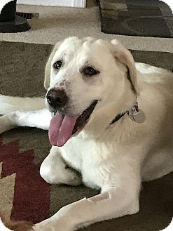 Labrador Retriever Dog for adoption in Phoenix, Arizona - Elsa
