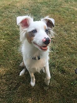 Australian Shepherd Dog for adoption in McKenna, Washington - Mister Blue
