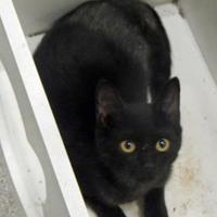 Adopt A Pet :: Button - Vienna, OH