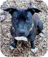 American Pit Bull Terrier Mix Puppy for adoption in Berkeley, California - Chiona